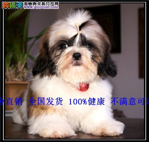 宠物狗纯种小型长毛三色西施幼犬出售
