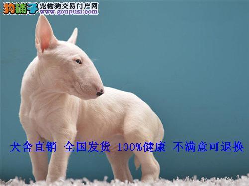牛头梗犬幼犬公母均有孙红雷纯白海盗眼赛级活体
