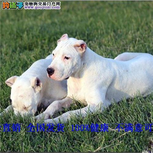 杜高幼犬 活体 纯种 双血统 包邮 包修耳 巨型杜高犬