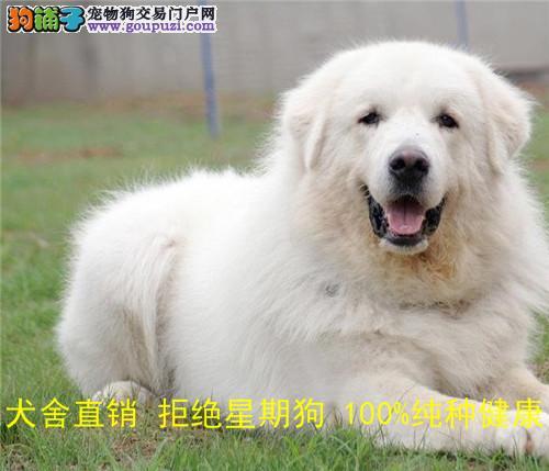 纯种活体宠物狗 赛级幼犬出售 巨型大白熊 双血统