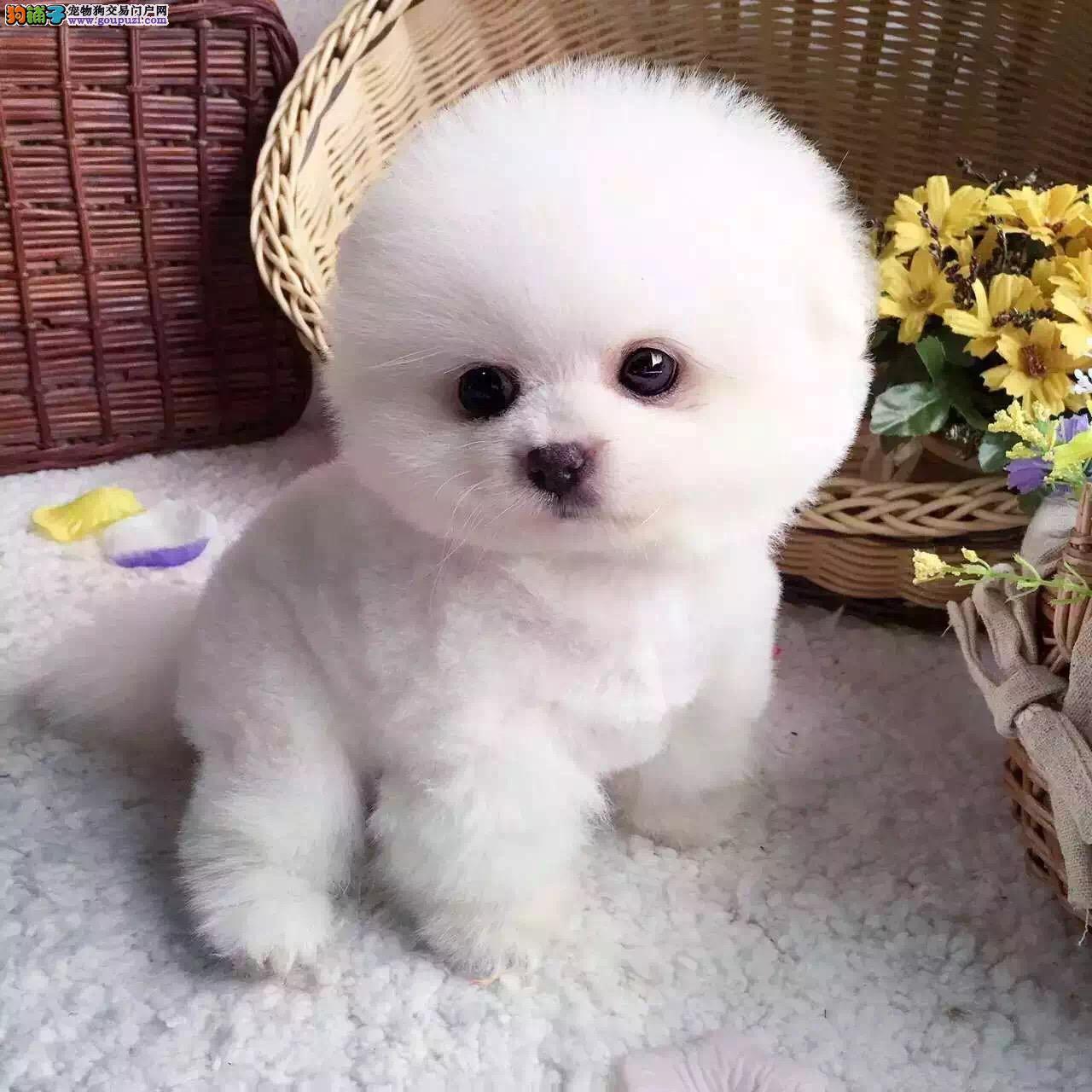 出售纯种哈多利版球体博美幼犬 包纯种健康可上门