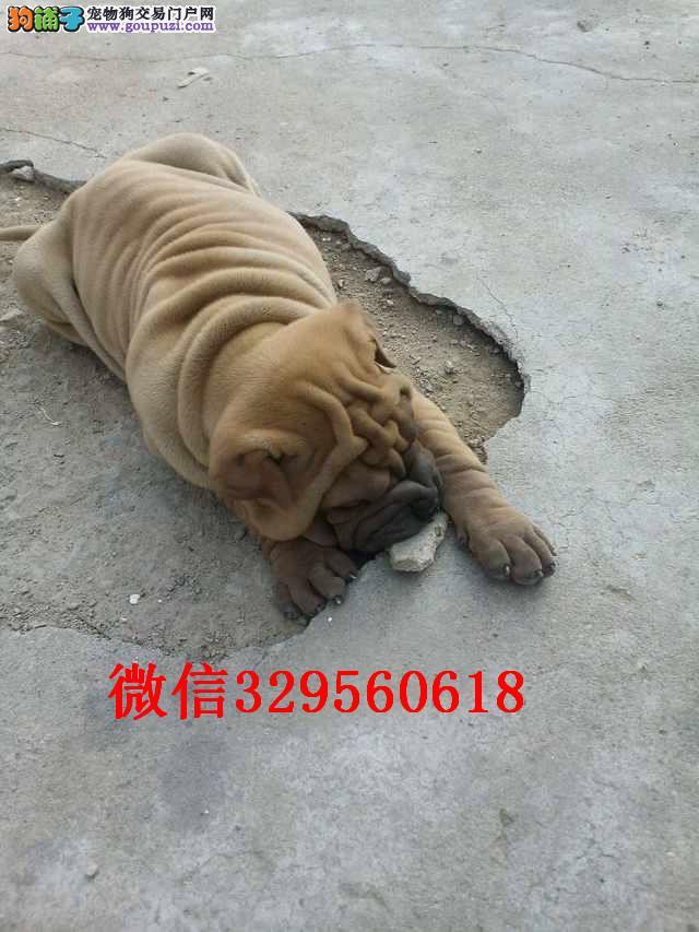 西安出售纯种沙皮 沙皮多少钱一只 哪里有卖沙皮犬