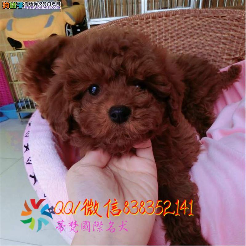 福州哪里卖泰迪熊 纯种泰迪犬多少钱 赛级泰迪幼犬