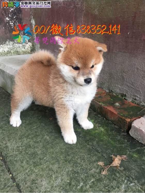 福州哪里卖柴犬 纯种柴犬多少钱 赛级日系柴犬幼犬
