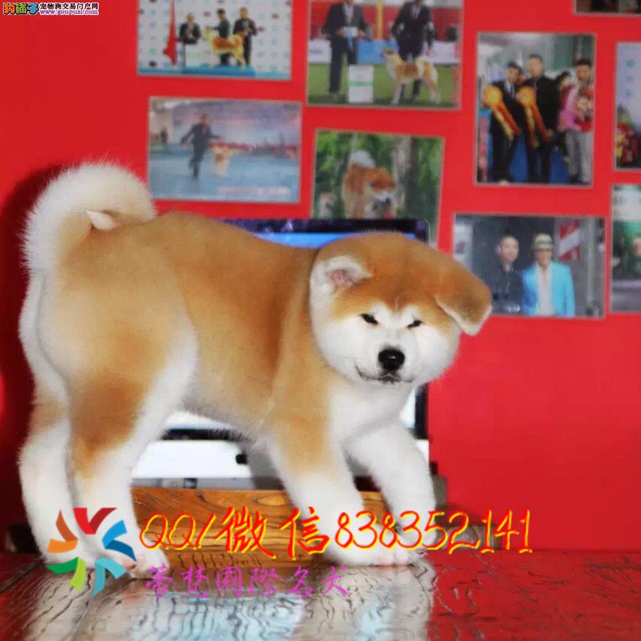 福州哪里卖秋田犬 纯种秋田犬多少钱 赛级秋田幼犬