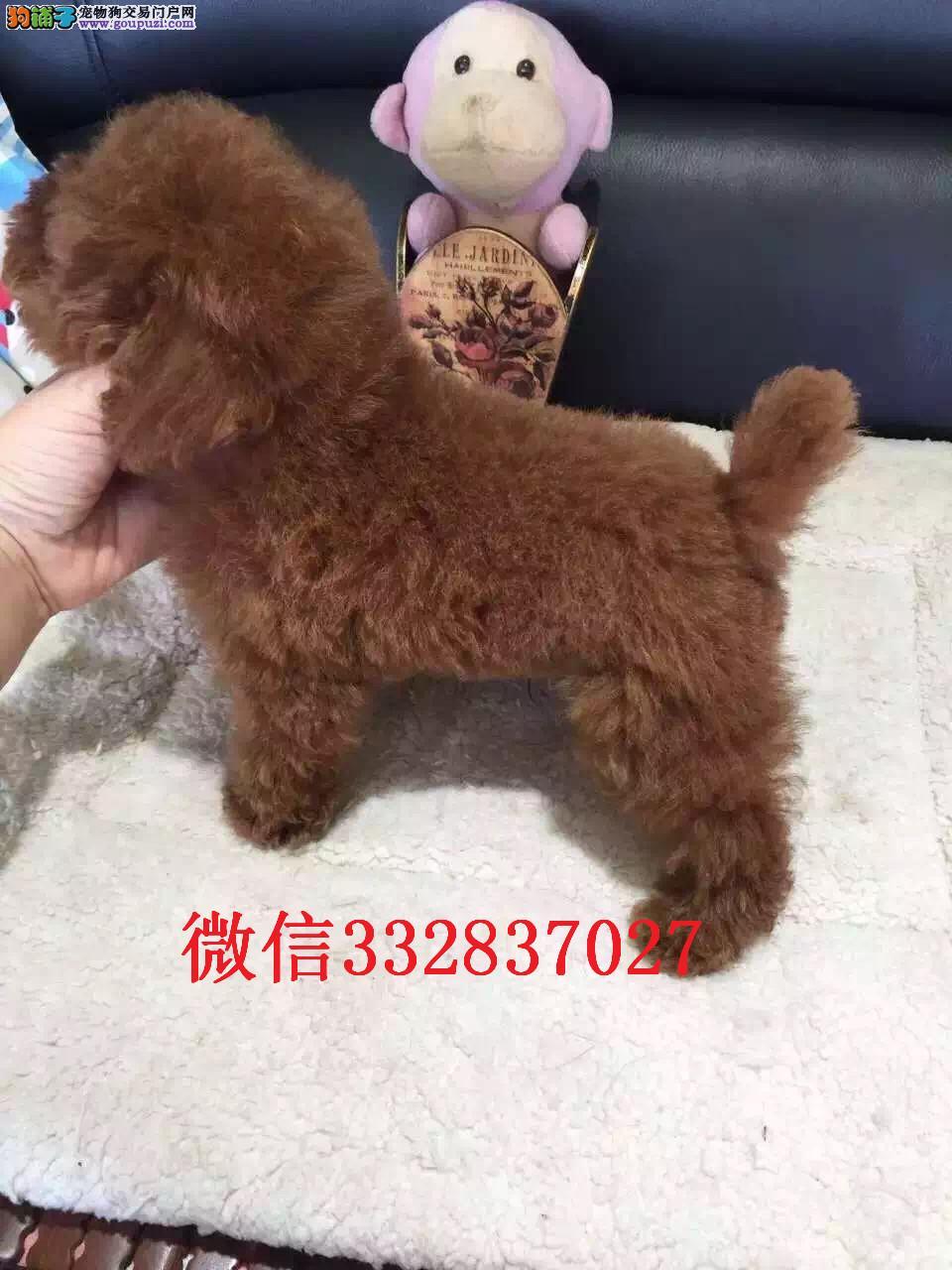 天津和平区哪里有贵宾出售 贵宾幼犬多少钱 贵宾价格