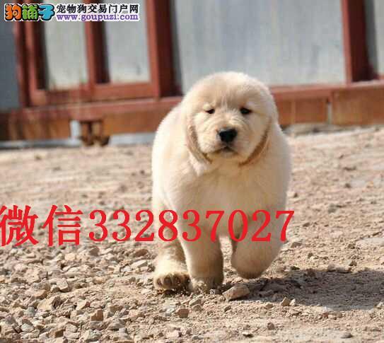 纯种金毛幼犬多少钱一只我们专业养殖基地包健康签协议
