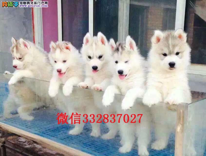 正规犬舍出售高品质哈士奇 宝石蓝眼睛 纯种健康