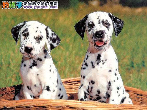 出售家养斑点狗 可上门看狗