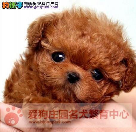 北京茶杯犬犬舍出售顶级韩版小体茶杯犬茶杯泰迪博美