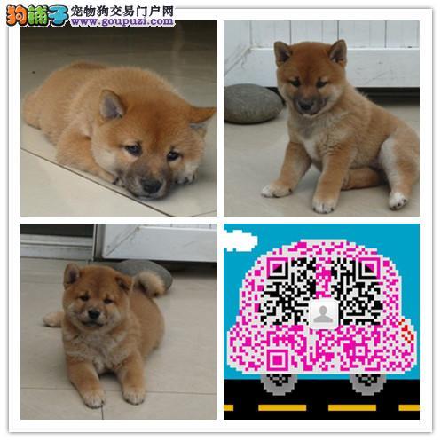 北京柴犬犬舍出售顶级日系纯种柴犬幼犬 保证纯种健康