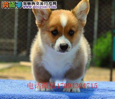 专业犬舍繁殖纯种威尔士柯基犬幼犬出售 纯种血统柯基