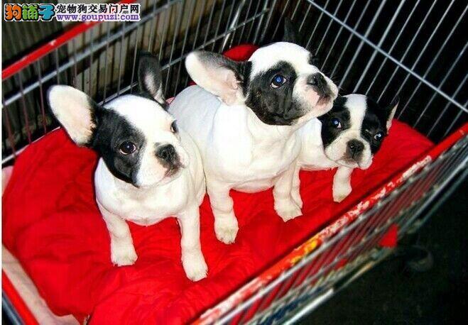 出售纯种法国斗牛犬好品相 好血统 签协议 保健康