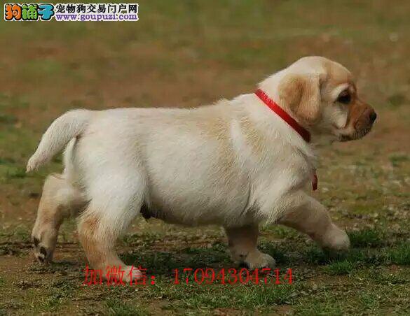 出售赛级品质纯种幼犬拉布拉多疫苗驱虫已做好