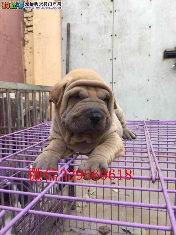郑州哪里有卖沙皮 纯种沙皮多少钱一只 沙皮犬舍