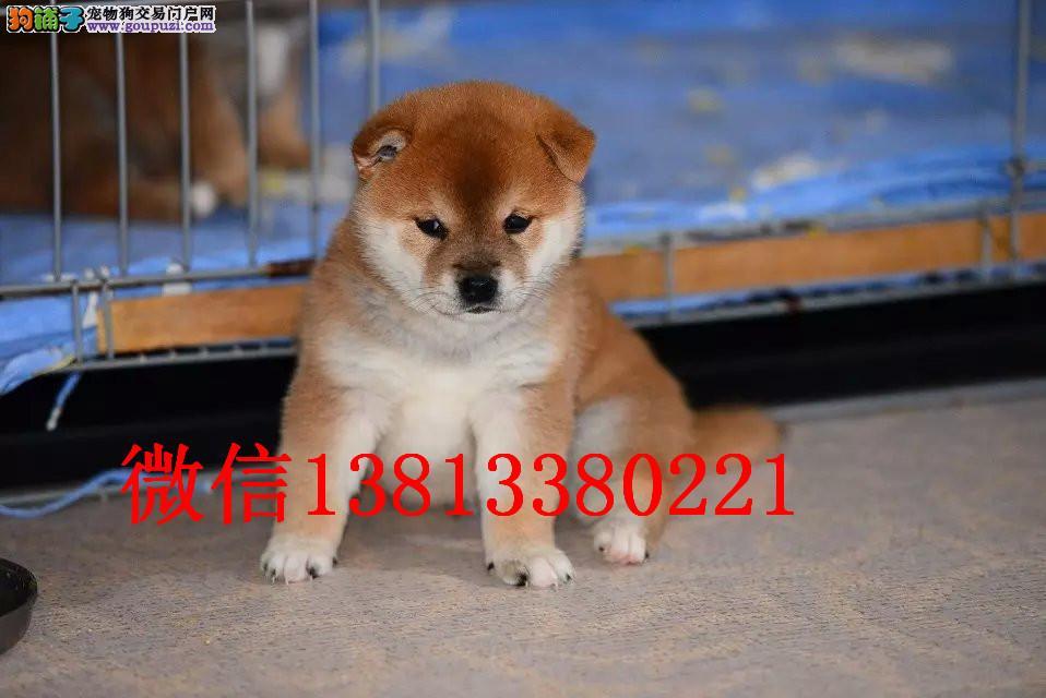 郑州柴犬出售 郑州哪里有卖柴犬 纯种柴犬幼犬出售