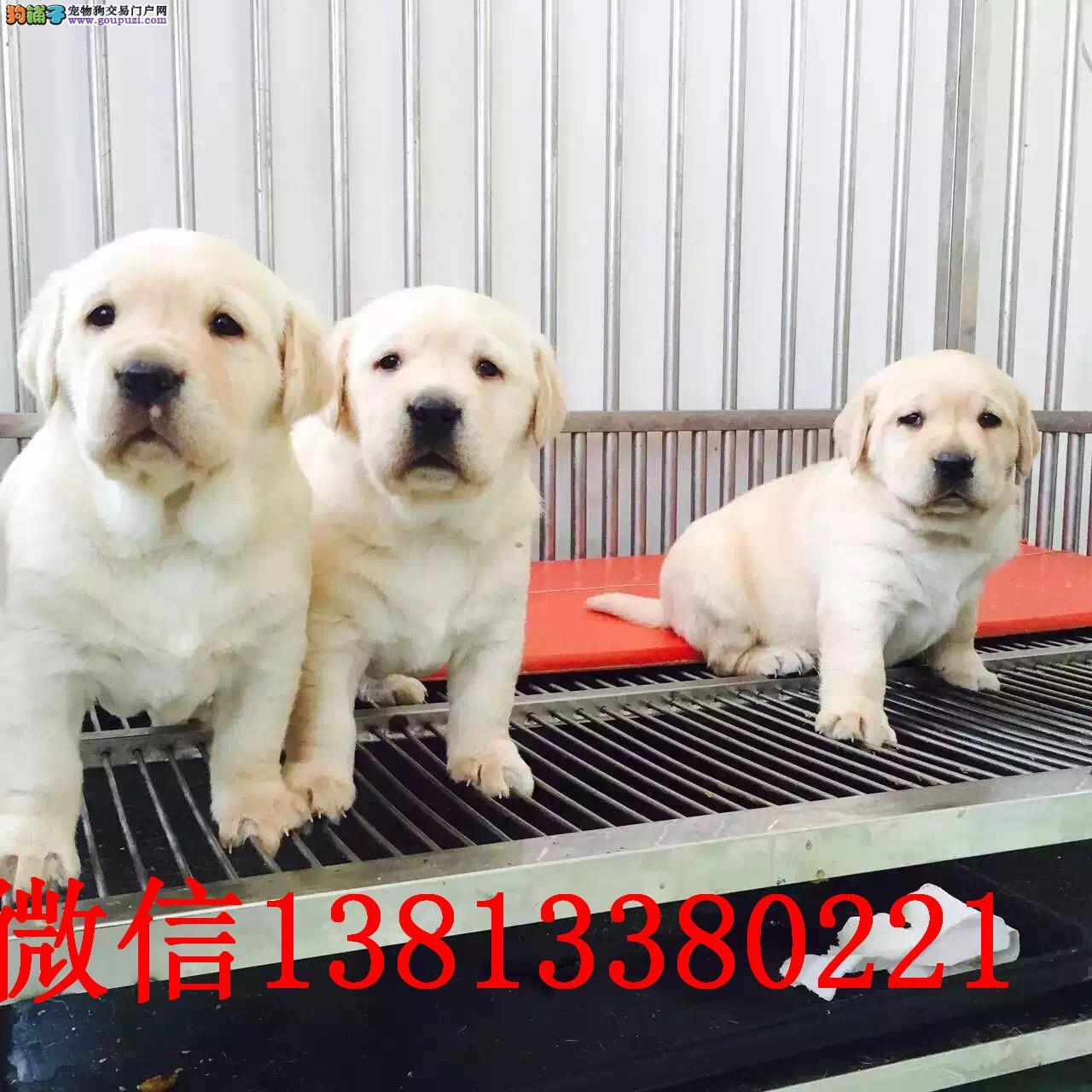 纯种拉布拉多幼犬出售 郑州哪里有卖拉布拉多犬