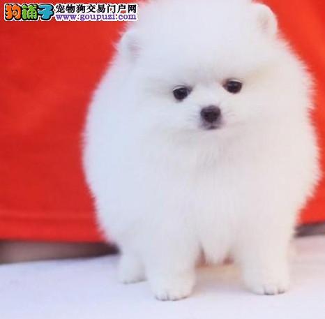 哈多利球体博美幼犬 可签订协议(名犬后代)冠军级