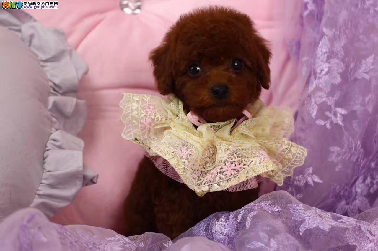 精品泰迪宝宝 可上门看狗送用品