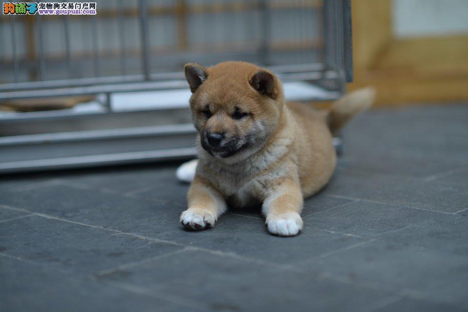 精品柴犬幼犬纯种健康质保三年 可签协议签协议