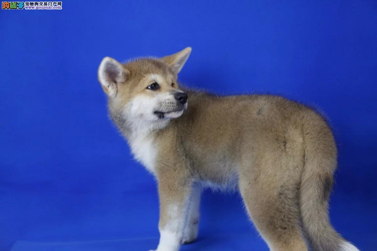 纯种日系秋田犬,喜欢的加我微信,24小时在线咨询中