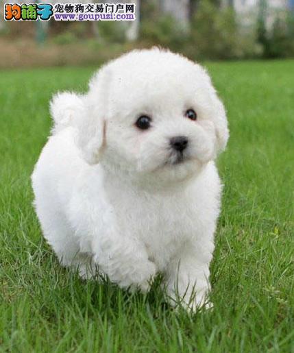 全国包邮 一窝可爱的小比熊幼犬出售