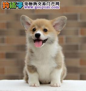 全国包邮 纯种柯基犬 出售两色三色柯基宝宝
