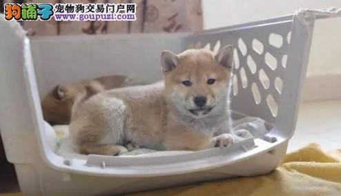 全国包邮 精品纯日系柴犬、国外引进种犬