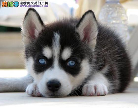 全国包邮 纯种哈士奇幼犬 三火蓝眼睛