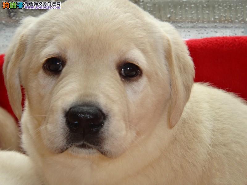 爱宠到家 出售拉布拉多犬幼犬可以视频看狗