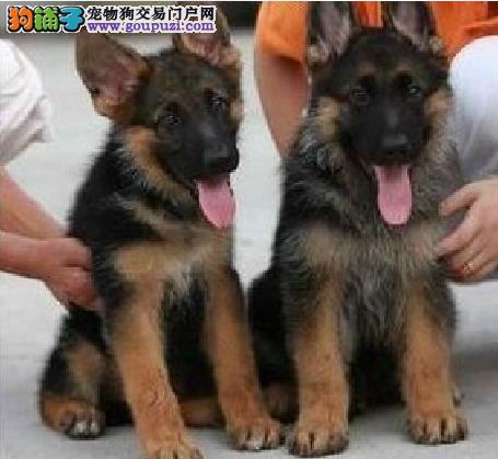 纯种德国牧羊犬幼犬黑背锤系德牧狼狗幼犬