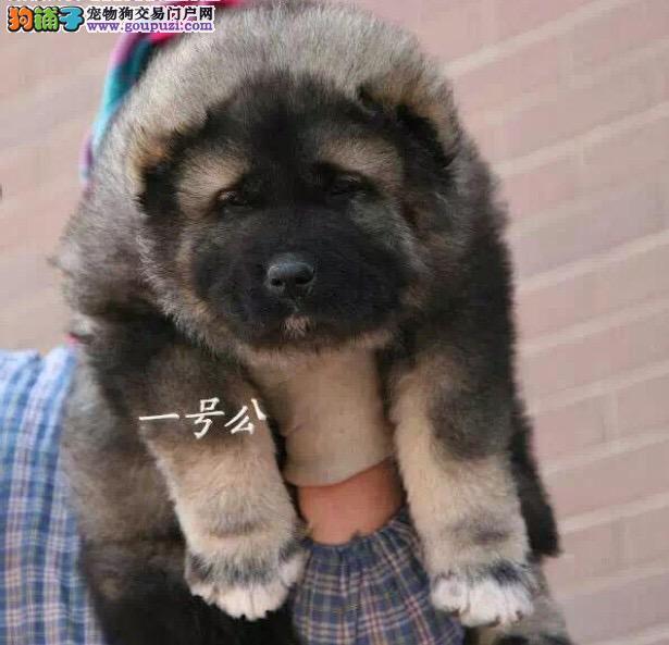 血统纯正俄系大骨架高加索幼犬出售 骨量毛量足 威风