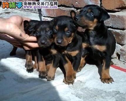 CKU认证犬舍杜高犬 赛级品质 一宠一证 可上门挑选