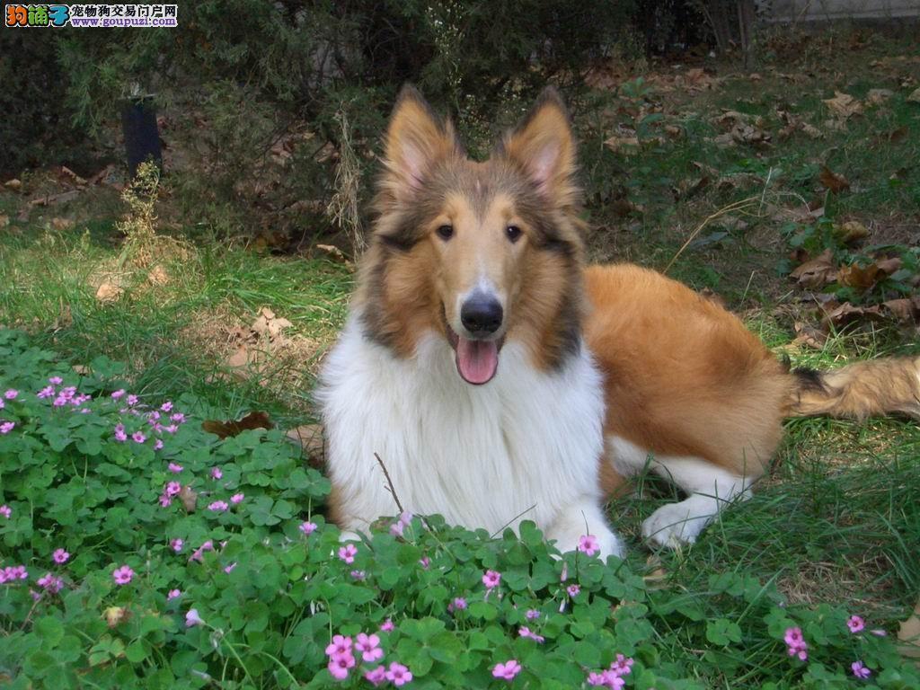犬舍繁殖中大型犬,苏牧边牧古牧,血统纯正包90天