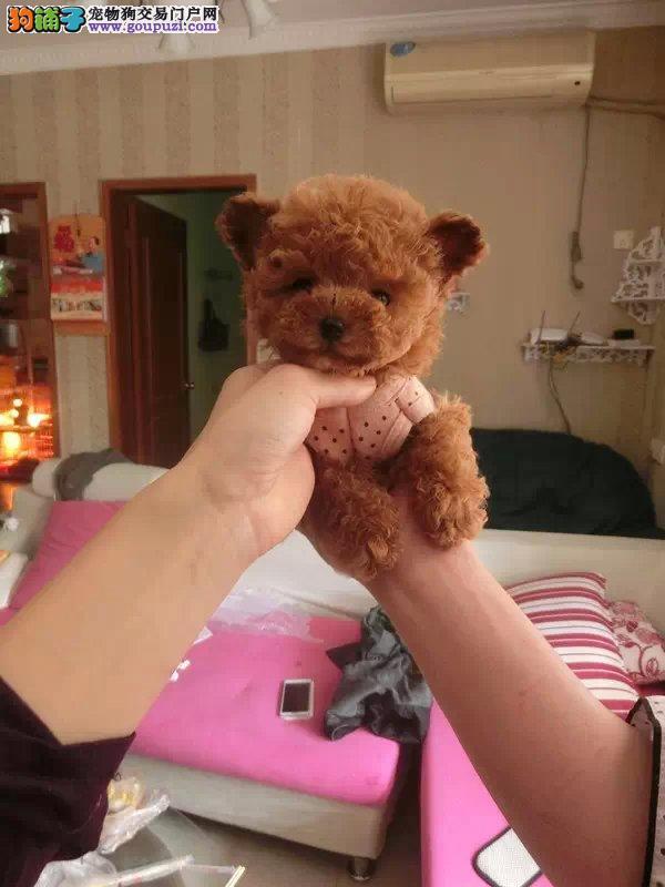 犬舍直销 泰迪犬 可上门 有公母健康有保障