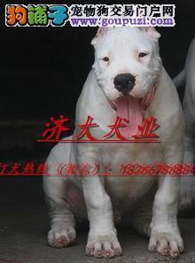 广州哪有卖杜高犬的杜高犬多少钱杜高犬狩猎视频