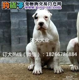 广州纯种杜高犬多少钱哪有卖的
