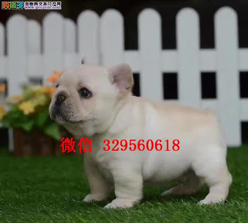 石家庄哪里卖法斗犬 纯种法斗多少钱 奶油色法斗幼犬