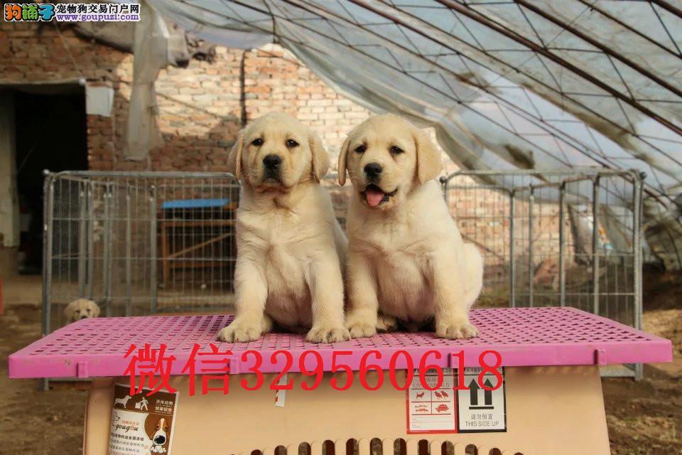 石家庄哪里卖拉布拉多犬 纯种拉布拉多 赛级拉布拉多