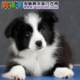 广州边牧幼犬一只多少钱 广州哪里有卖边境牧羊犬