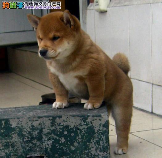 广州柴犬价格 广州哪里有卖柴犬