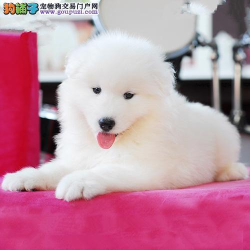 广州萨摩耶幼犬一只多少钱 广州哪里有卖纯种萨摩耶