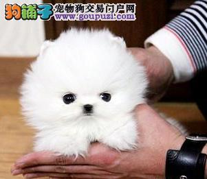 纯种博美犬幼犬价格是多少 广州博美哪里有卖