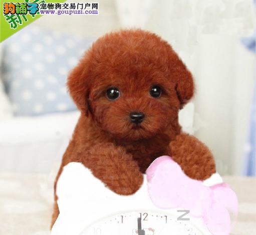 广州纯种泰迪价格 广州泰迪熊一只多少钱