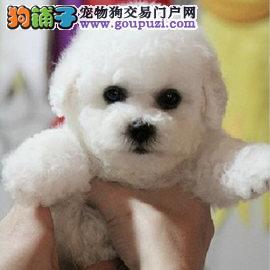广州比熊犬一只多少钱 纯种比熊犬哪里有卖