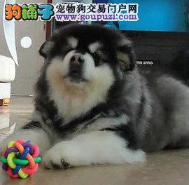 广州阿拉斯加一只多少钱 广州哪里有阿拉斯加小狗
