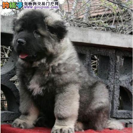 广州高加索一只多少钱 广州哪里有卖纯种高加索