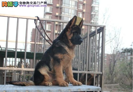 广州德牧一只多少钱 广州哪里有卖纯种德国牧羊犬