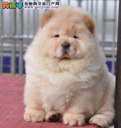 广州松狮犬价格 广州哪里有卖松狮