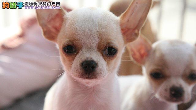 出售纯种吉娃娃犬,血统纯正可上门签协议包健康
